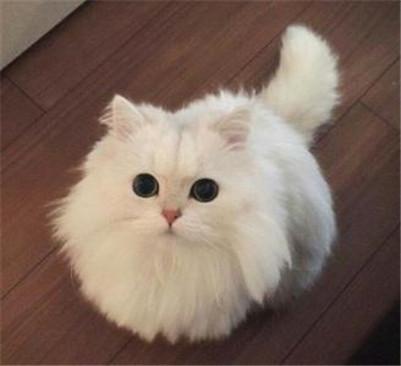 波斯猫多少钱一只?波斯猫的价格行情及挑选波斯猫的方法要点